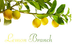 Filiale della frutta del limone, isolata su bianco Fotografia Stock