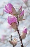 Filiale della magnolia di Loebner con i germogli contro Immagine Stock Libera da Diritti