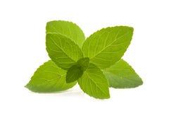 Filiale della menta verde su priorità bassa bianca. fotografia stock