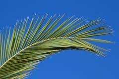 Filiale della palma immagini stock