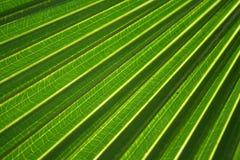 Filiale della palma Fotografia Stock