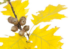 Filiale della quercia Fotografie Stock Libere da Diritti