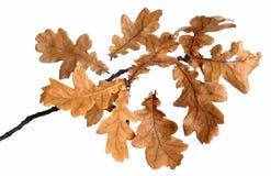 Filiale della quercia fotografia stock