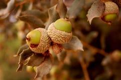 Filiale della quercia con le ghiande Fotografia Stock Libera da Diritti