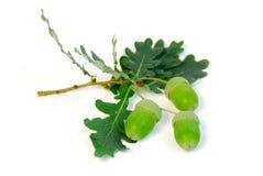 Filiale della quercia delle ghiande Fotografia Stock