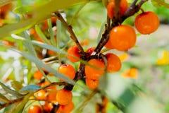 Filiale delle bacche mature dello mare-spincervino Bacche arancio mature dell'olivello spinoso su un ramo con le foglie verdi Oli fotografia stock