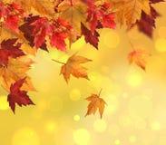 Filiale delle foglie di acero isolate su bianco Fotografia Stock