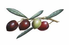 Filiale delle olive Immagine Stock Libera da Diritti