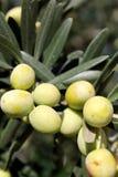 Filiale delle olive verdi Fotografia Stock Libera da Diritti