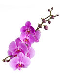 Filiale delle orchidee Fotografia Stock