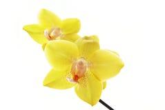 Filiale delle orchidee gialle Fotografia Stock
