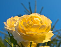 Filiale delle rose gialle Fotografia Stock