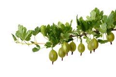 Filiale delle uva spina Immagini Stock