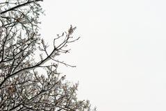 Filiale dello Snowy Fotografie Stock