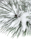 Filiale dello Snowy Immagini Stock Libere da Diritti