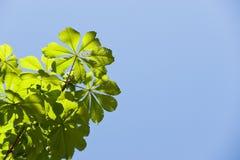 Filiale di albero Fotografie Stock Libere da Diritti