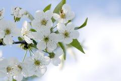 Filiale di albero con i fiori della ciliegia   Fotografia Stock