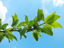Filiale di albero con i fogli verdi Fotografie Stock