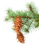Filiale di albero con i pinecones Fotografia Stock