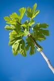 Filiale di albero del fico Immagine Stock
