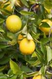 Filiale di albero del limone Immagini Stock