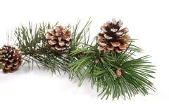 Filiale di albero del pino con i pinecones Fotografia Stock Libera da Diritti