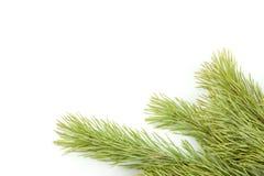 Filiale di albero dell'abete Fotografia Stock