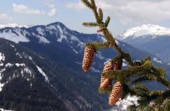 Filiale di albero dell'abete Fotografie Stock
