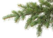 Filiale di albero dell'abete Fotografie Stock Libere da Diritti