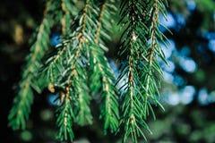 Filiale di albero dell'abete con i coni immagine stock libera da diritti