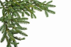 Filiale di albero dell'abete isolata su bianco immagine stock