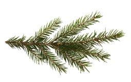 Filiale di albero dell'abete isolata su una priorità bassa bianca Fotografia Stock