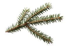 Filiale di albero dell'abete isolata su una priorità bassa bianca Fotografie Stock