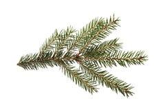 Filiale di albero dell'abete isolata su una priorità bassa bianca Immagine Stock