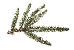 Filiale di albero dell'abete isolata su una priorità bassa bianca Immagini Stock