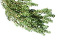 Filiale di albero dell'abete su una priorità bassa bianca. Immagini Stock