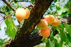 Filiale di albero dell'albicocca Immagine Stock