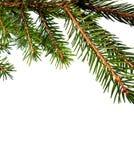 Filiale di albero della pelliccia Fotografia Stock Libera da Diritti