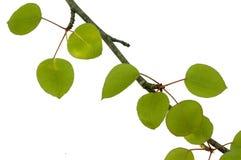 Filiale di albero della pera Fotografia Stock