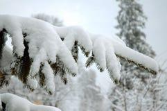 Filiale di albero dello Snowy Fotografie Stock Libere da Diritti