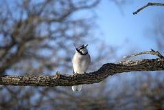 Filiale di albero di inverno del Jay blu fotografia stock