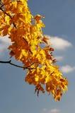 Filiale di autunno dell'albero di acero Fotografia Stock
