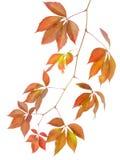 Filiale di autunno dell'uva selvaggia Fotografia Stock
