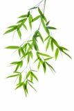 Filiale di bambù Fotografia Stock