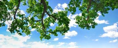 Filiale di estate con cielo blu e le nubi Fotografie Stock Libere da Diritti
