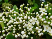 Filiale di fioritura immagine stock