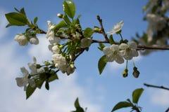Filiale di fioritura Fotografia Stock