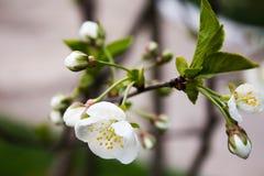 Filiale di fioritura Immagini Stock Libere da Diritti
