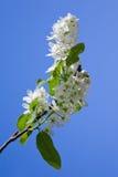 Filiale di fioritura dell'albero della uccello-ciliegia Fotografia Stock