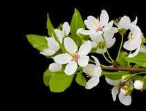 Filiale di fioritura dell'albero di prugna Immagine Stock